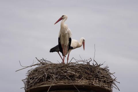 Die Störche / The Storks