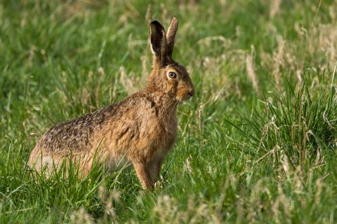 Feldhase / European hare