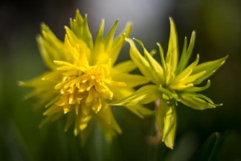 Narzisse / Daffodil