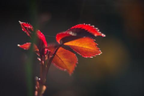 Rosentrieb / Rose shoot