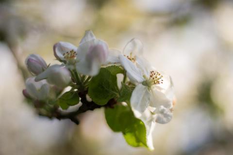 Apfelblüte I / Apple blossom I