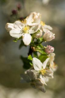 Apfelblüte II / Apple blossom II