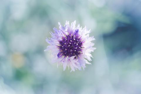 Kornblume / Cornflower