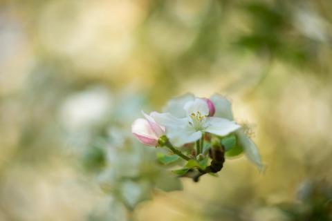 Apfelblüte / Apple blossom