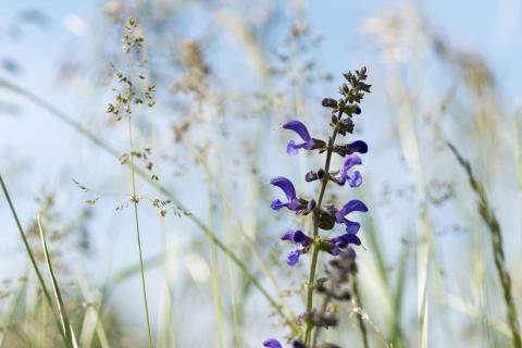 Sommerwiese / Summer meadow