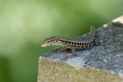 Mauereidechse / Common wall lizard