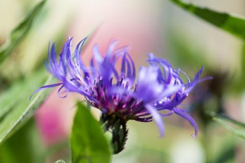 Berg-Flockenblume / Mountain cornflower