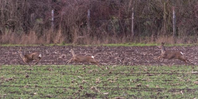 Rehe auf der Flucht - Roe deer on the run
