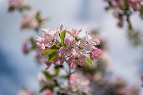 Zierapfel- Blüte