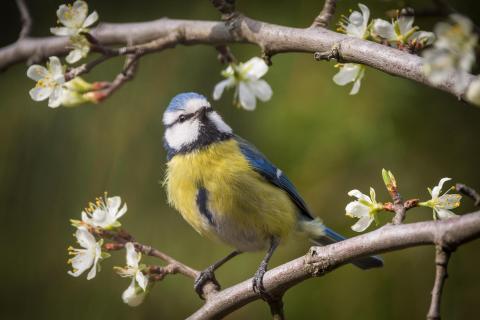 Blaumeise in den Zwetschgenblüten