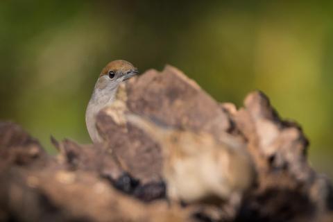 Mönchsgrasmücke (w)