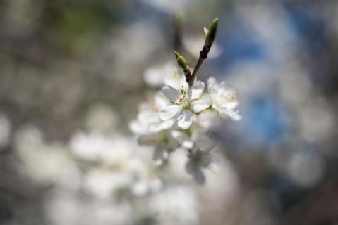 Zwetschgenblüten 2
