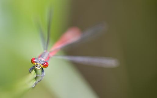 Libelle mit Roten Augen