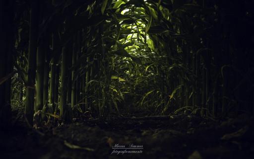 Der Tunnelblick im Maisfeld