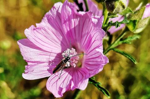 Moschusbock auf Hibiskusblüte