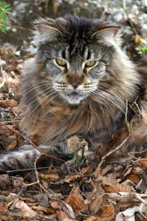 Maine Coon Kater Camillo
