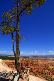 einsamer Baum im Bryce Canyon
