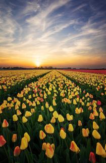 Leading Tulips