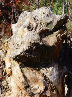 Hundekopfbaum 1