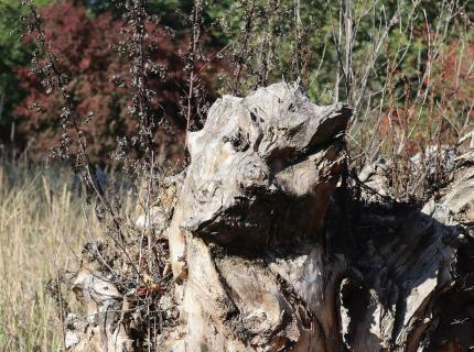 Hundekopfbaum 2