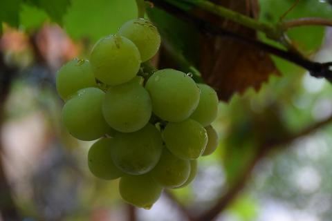 Weintraube im Regen