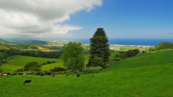 Kuhherde Azoren
