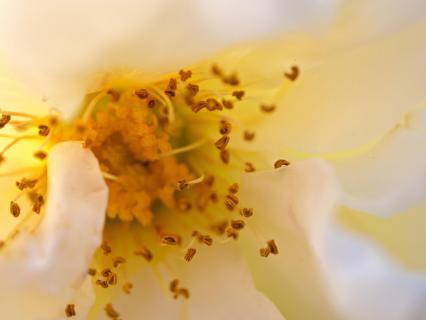 Blütenstand Märchenrose