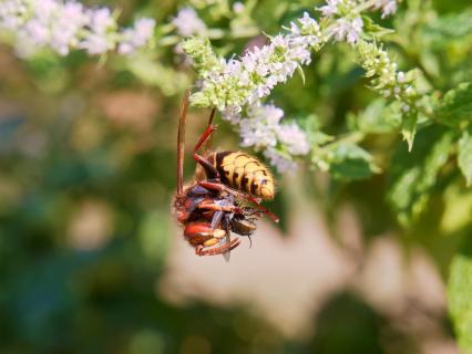 Hornisse frisst Fliege