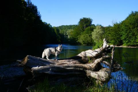 Husky auf einem Baumstamm