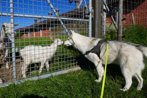 Husky-Hündin beim Hofbesuch