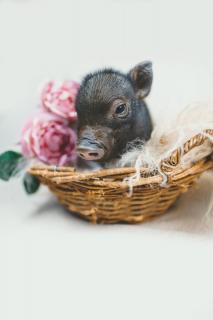 Schweinchen mit Blume