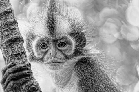 Träumender Affe, Sumatra Indonesien