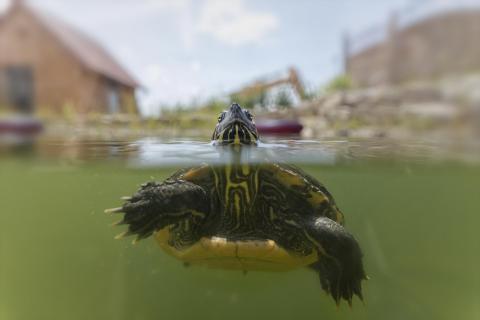 Schildkröte halbtauchen im Teich