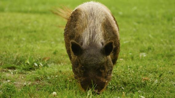 Schweine-Ei