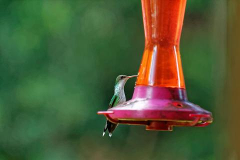 Kolibri beim Essen