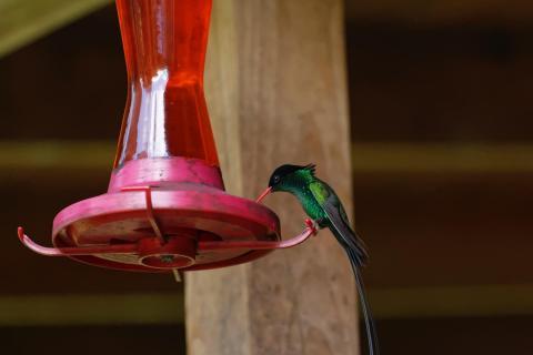 Kolibri beim Essen 2