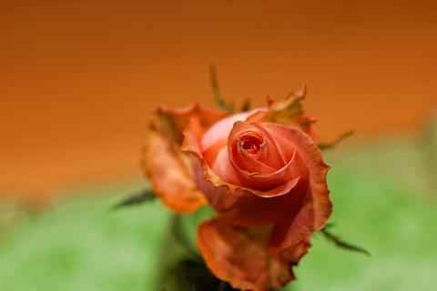 Rose vonOben