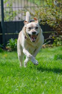 Labrador in Aktion