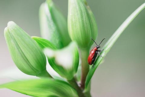 Ein rotes Lilienhähnchen auf Wanderung :)
