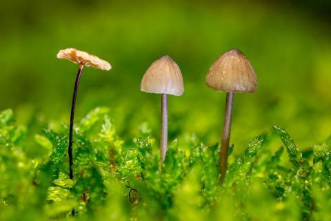 3 Pilzlein stehen im Walde , ganz still und stumm !