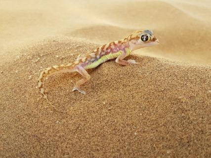 Namib Sandgecko