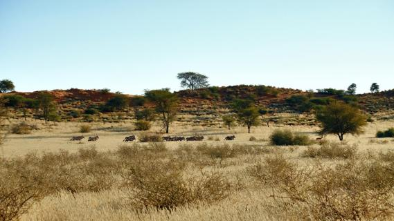 Oryx-Antilopen