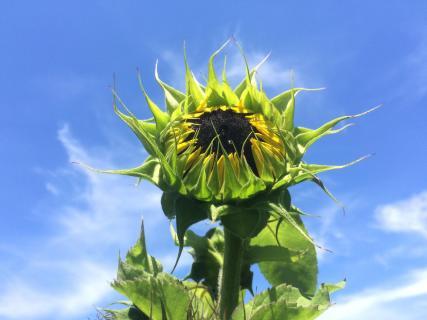 Sonnenblumen Portrait
