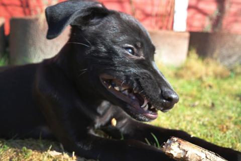 schwarzer wilder Hund