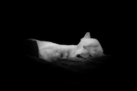 sleeping icebear