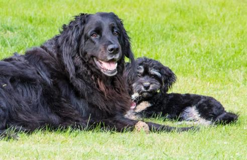 Hundefreundschaft zwischen Hovawart und Havaneser