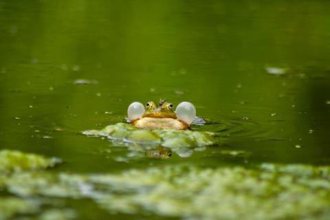 Frosch schwimmt im Teich