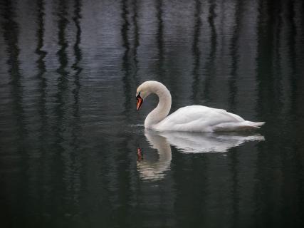 Schwan mit irrer Spiegelung im Wasser