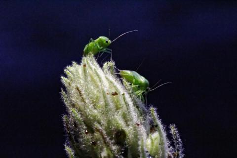 Blattläuse bei der Arbeit