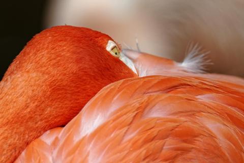 Flamingo, ganz in sich eingekuschelt